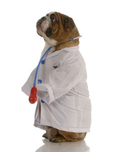 Bulldog as Tampa Veterinarian