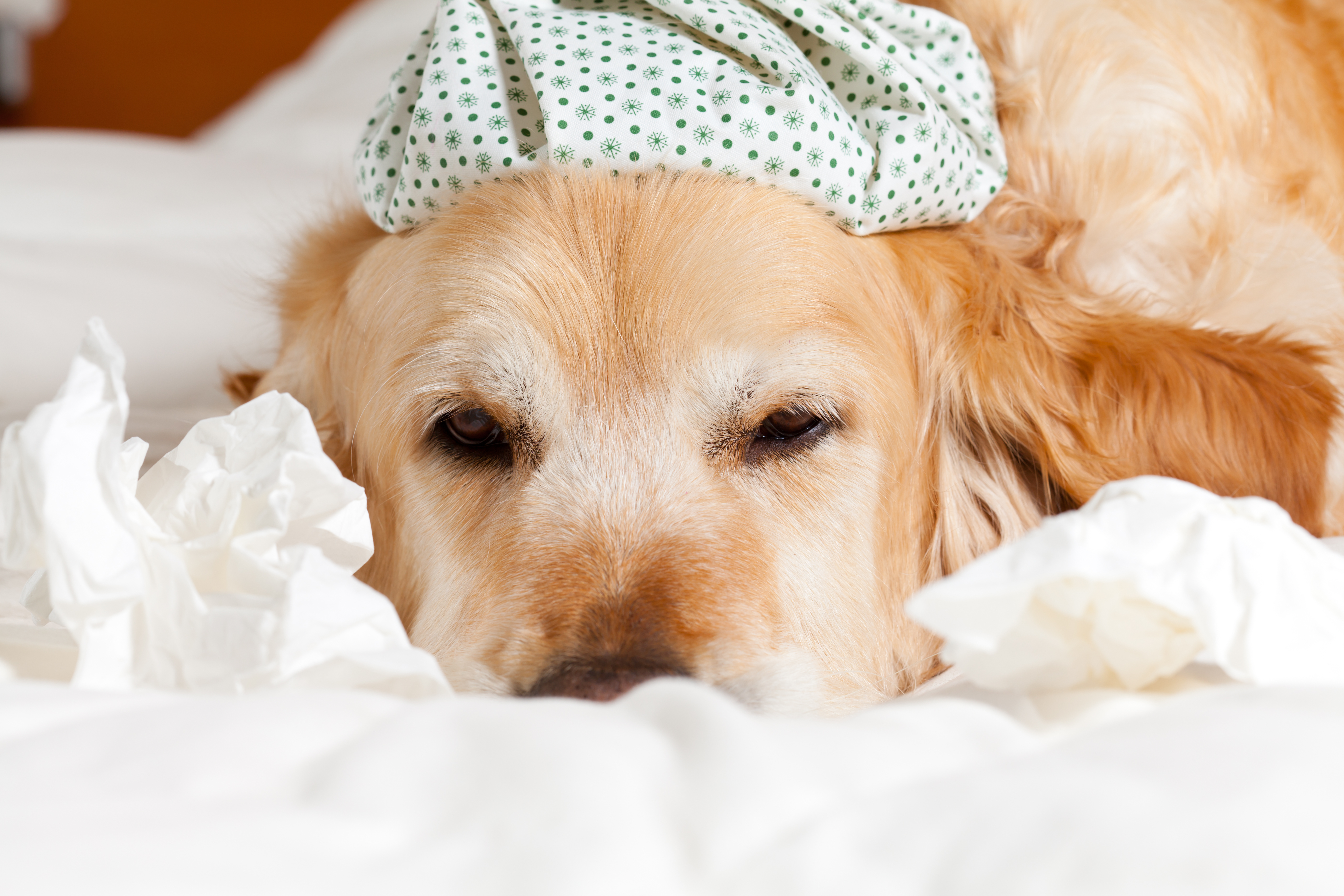Spreading – Canine Influenza | New Dog Flu Strain